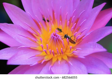 Purple lotus bee for background