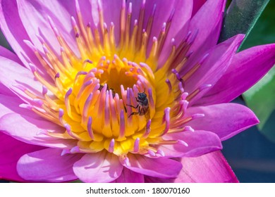 purple lotus and  a bee close up