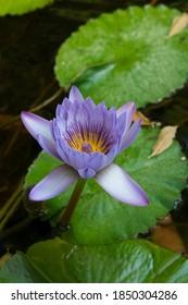Purple lotus flower among water lilies in Jardin Botanico La Concepción, Malaga, Andalucia, Spain