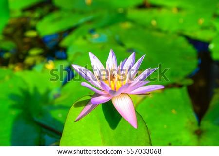 Purple Lotus Flower Aquarium Stock Photo Edit Now 557033068