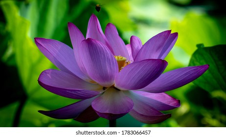 Purple Lotus flower in bloom early morning