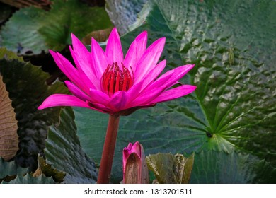 Purple Lotus Flower, close up of water plant in bloom