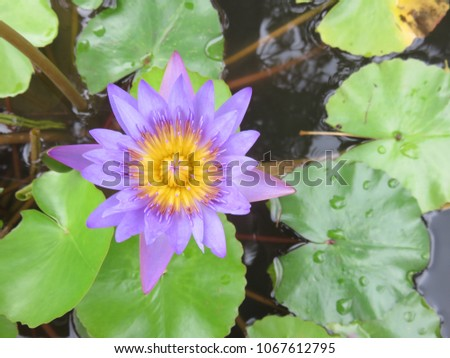 Purple lotus flower floating above muddy stock photo edit now purple lotus flower floating above the muddy waters represent purity and beauty in the religions of mightylinksfo