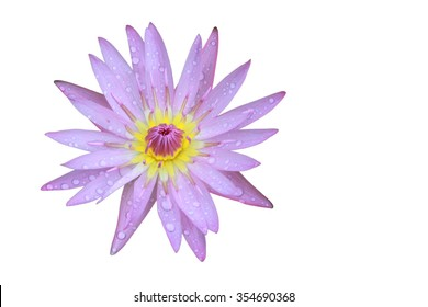 Purple Lotus flower top view has some drop water on the petal, Isolated on white background, symbol of purity and Buddhism, Scientific name is Nelumbo nucifera.