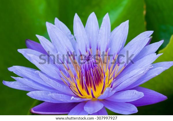 Purple lotus flower with yellow pollen.