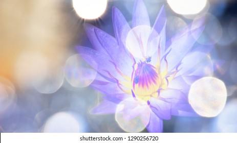 Purple lotus flowers with large white bokeh.