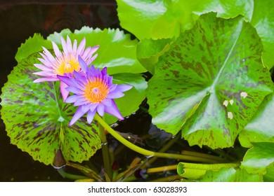 purple lotus with green leaf