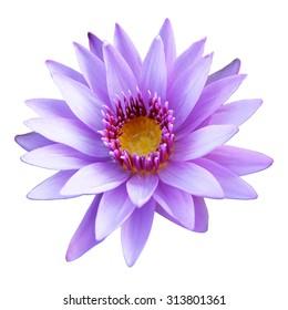 Purple lotus isolated