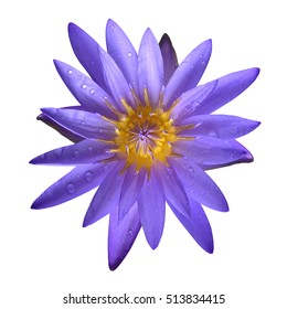 The purple lotus isolated on white background