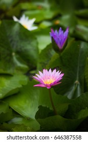 Purple lotus in pond fish