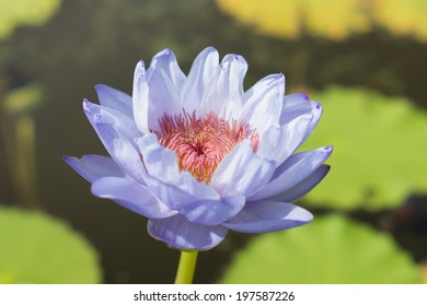 A purple lotus with red pollen