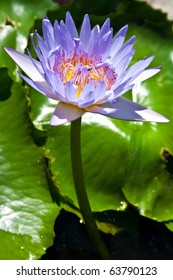 Purple Lotus from Thailand
