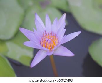 Purple Lotus In water
