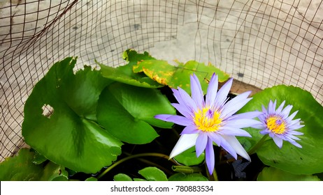 purple lotus (water lily) and green leaves floating on pond