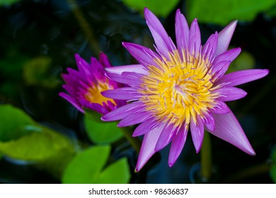 purple lotus yellow carpel in water with green leaves