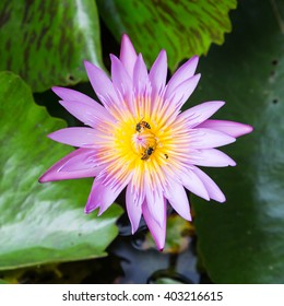 A purple lotus with yellow pollen, the bees harvesting the sweet in it.