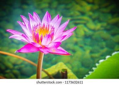 Purple lotus with yellow pollen. Close up hybrid purple lotus flower 'King of Siam', a tropical waterlily which was created in Thailand, King of Siam features deep violet blooms with a yellow center.