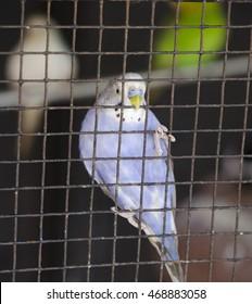 A purple Love Bird in a cage