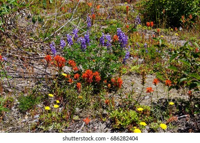 Purple lupine and Indian paintbrush cover the meadows of Johnston Ridge, Mt St Helens Volcanic National Monument, Washington