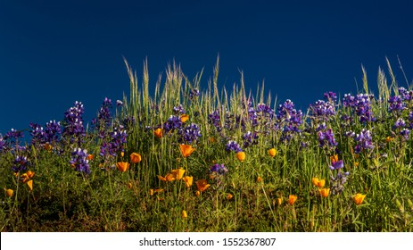 Purple lupine, orange California Poppy and green grass against the blue sky, with space for copy - wildflowers composition
