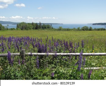 Purple lupines along a rail fence on Mount Desert Island, Acadia National Park,Maine