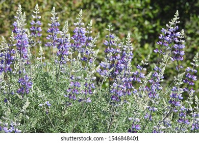 Purple lupines, wildflowers, Lopez Lake, San Luis Obispo County, California.