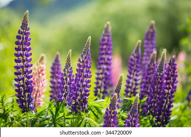 purple Lupins in Arrowtown, New Zealand