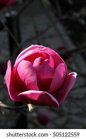 Purple magnolia bud