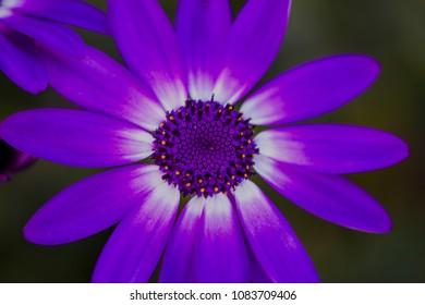 Purple Margarita Flower in my garden