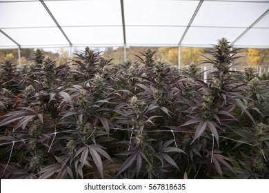 Purple marijuana flowers in commercial greenhouse, Grown by TKO Reserve