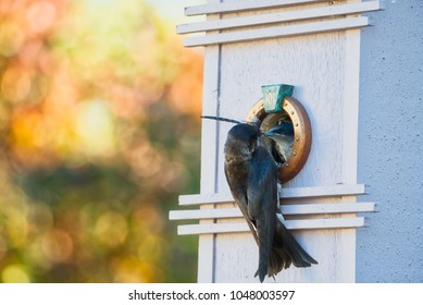 Purple martin feeding chicks in birdhouse with dragonfly, beautiful fall bokeh background