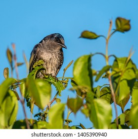 A Purple Martin perched high up on a tree top in the early morning light.  Montezuma Audubon Center, Central New York, USA, May 18th 2019