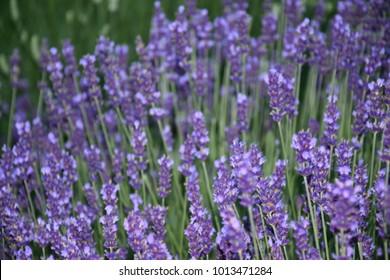 purple meadow grove