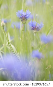 Purple meadow wild flower in soft focus shallow depth, Centaurea jacea or brown knapweed