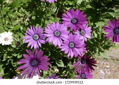Purple Mesembryanthemum flowers in spring