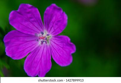 purple midsummer flower from sweden