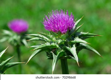 Purple milk thistle flower on green background