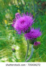 Purple milk thistle flowers wildly grow in Geilo, Norway