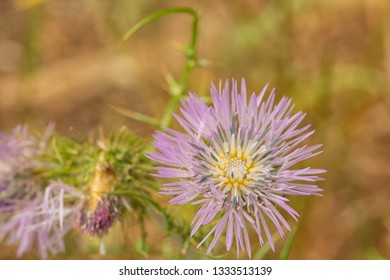 Purple Milk thistle, Galactites tomentosa in flower.