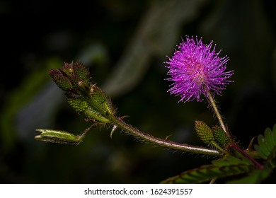 Purple mimosa flower image taken in the cloud forest of Panama