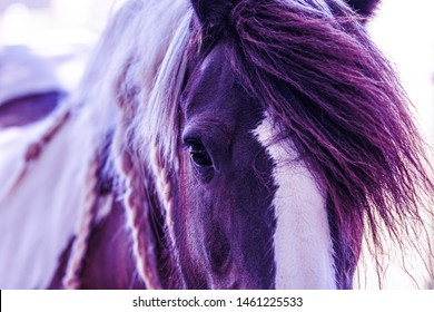 Purple monochrome portrait of a gypsy vanner horse face and mane close up.