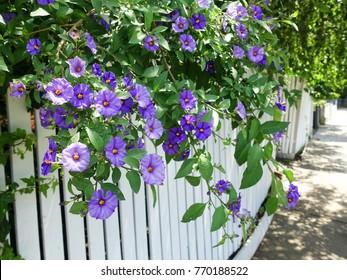 Purple morning glory flowers (Ipomoea purpurea) climbing on white front yard fence along an Australian suburban street sidewalk.