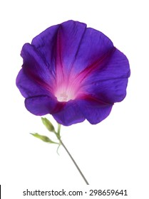 purple morning glory isolated on white background