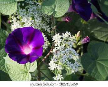 Purple morning glory and white garlic chive blossom with sweat bee.