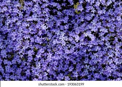 Purple moss phlox