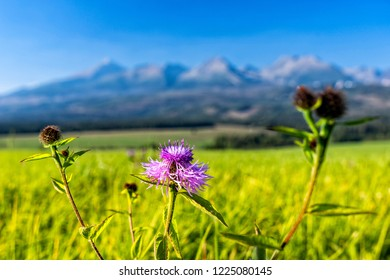 Purple mountain cornflower on green meadow in front of high mountains in a sunny day. High Tatras mountain range in Slovakia.a