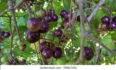 purple muscadines