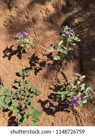 Purple Nightshade Plant with Purple Flowers