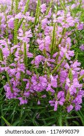purple obedience plants in full bloom