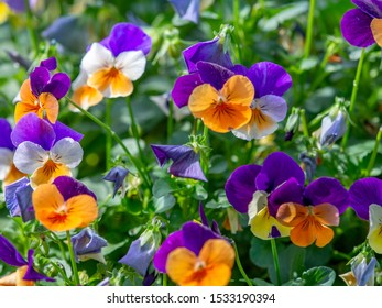 purple and orange pansy flowers